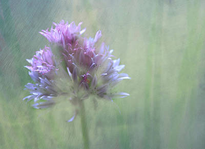 Allium Impressionism Poster