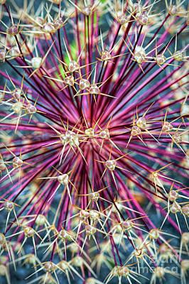 Allium Stars Poster