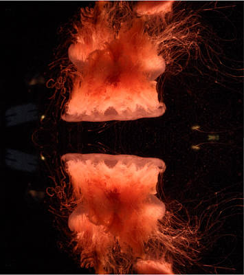 Alluring Jellyfish  Poster