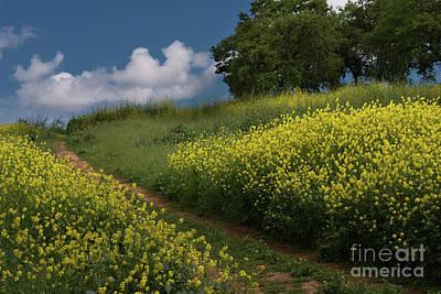 Almaden Meadows' Mustard Blossoms Poster