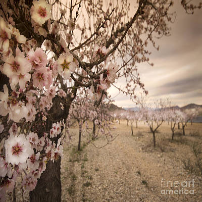 Almond Blossom Poster by Angel  Tarantella