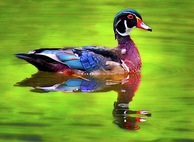 Almost Perfect Wood Duck Poster by Jean Noren