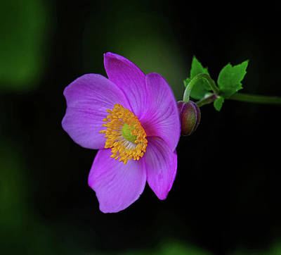 Anenome Purple Poster by Ronda Ryan