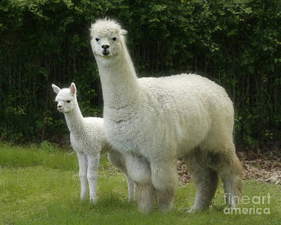 Alpaca And Foal Poster