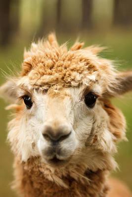 Alpaca Eyes Poster by Shane Holsclaw