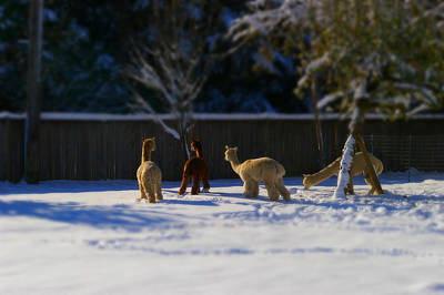 Alpacas In The Snow Poster