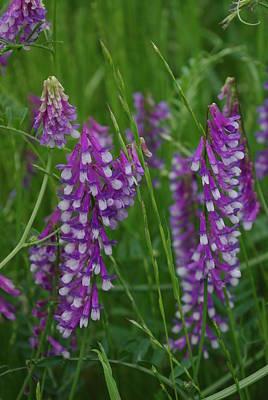 Alpine Vetch 1 Poster by Robyn Stacey