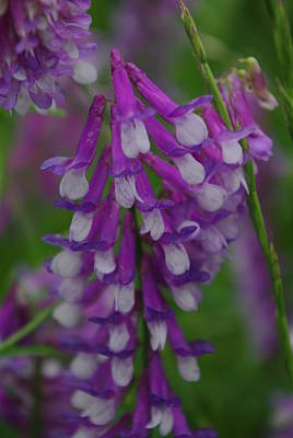 Alpine Vetch 2 Poster by Robyn Stacey