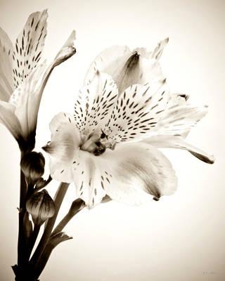 Alstromeria Lily Poster by John Pagliuca