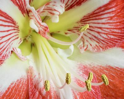 Amaryllis Close-up Poster by Robert Anastasi