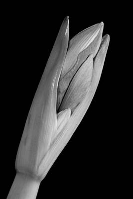 Amaryllis Hippeastrum Starting To Bloom In Black And White Poster