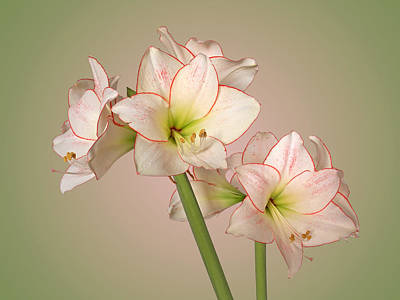 Amaryllis In Full Bloom - Soft Poster