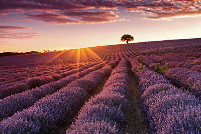 Amazing Lavender Field At Sunset Poster