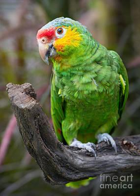 Amazon Parrot Portrait Poster