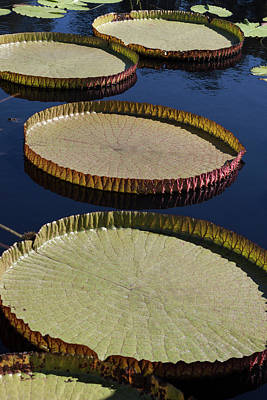 Poster featuring the photograph Amazonas Lily Pads II by Suzanne Gaff