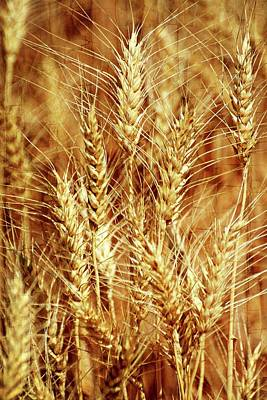 Amber Waves Of Grain 1 Poster
