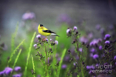 Amercian Goldfinch Poster