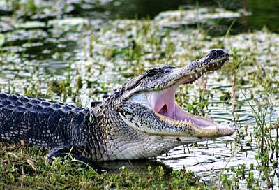 American Alligator Florida 3314_2 Poster