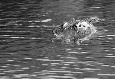 American Alligator In Monochrome Poster by Robert Wilder Jr