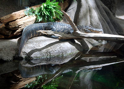 American Alligator Poster by Kathleen Stephens