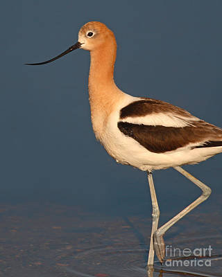 Poster featuring the photograph American Avocet Standing Tall by Max Allen
