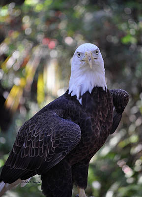 Poster featuring the photograph American Bald Eagle 02 by John Knapko