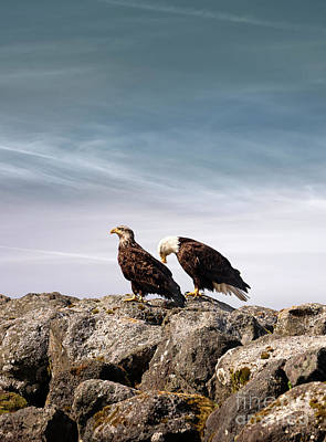 American Bald Eagle And A Golden Eagle At Neah Bay In Washington Poster by Brandon Alms