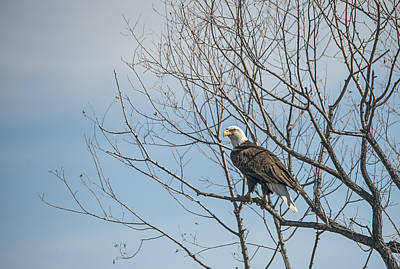 American Bald Eagle In A Tree Poster