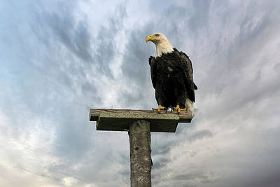 American Bald Eagle Perched On A Pole Poster