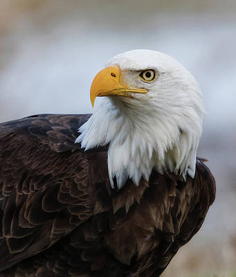 Poster featuring the photograph American Bald Eagle Portrait by Angie Vogel
