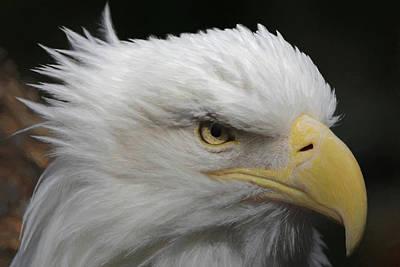 Poster featuring the digital art American Bald Eagle Portrait by Ernie Echols