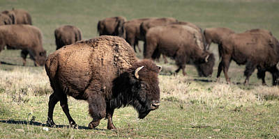 Poster featuring the photograph American Bison 5 by James Sage