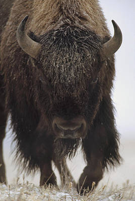 American Bison Portrait In Snow North Poster
