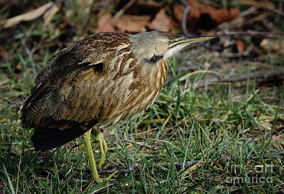 Poster featuring the photograph American Bittern by Douglas Stucky