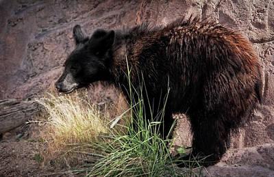 American Black Bear Cub Poster by Elaine Malott