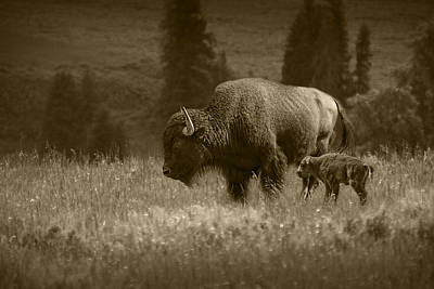 American Buffalo Bison Mother And Calf In Sepia Tone Poster