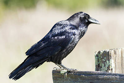 Poster featuring the photograph American Crow At Point Reyes National Seashore California 5dimg9299 by Wingsdomain Art and Photography