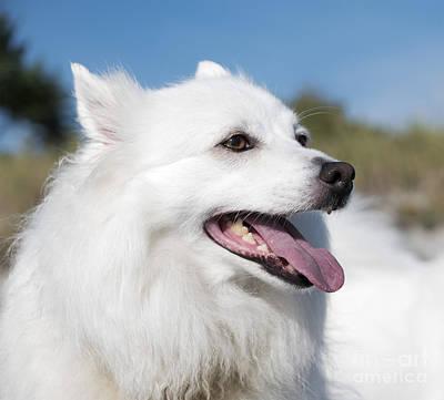 American Eskimo Dog. Pet Portrait, White Canine Poster