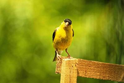 American Gold Finch On Fence Poster by Geraldine Scull