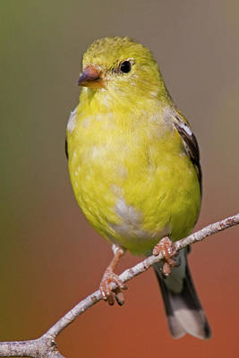 American Goldfinch  Female Poster