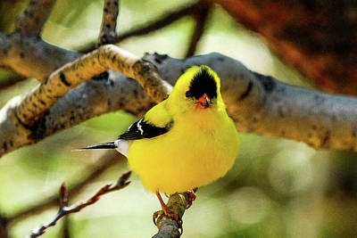 American Goldfinch On Aspen Poster by Marilyn Burton