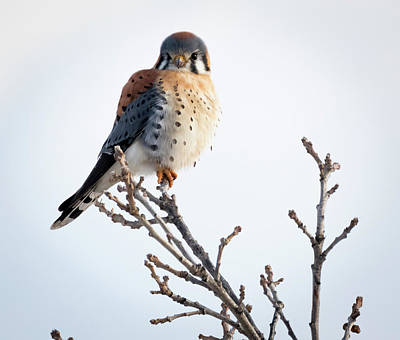 Poster featuring the photograph American Kestrel At Bender by Ricky L Jones