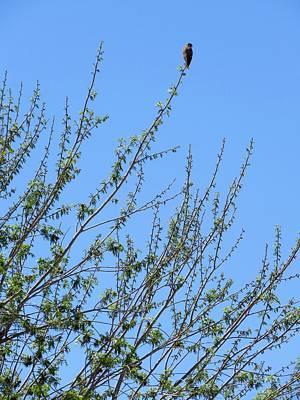 American Kestrel Atop Pecan Tree Poster