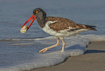 American Oystercatcher Grabs Breakfast Poster by Susan Candelario