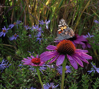 American Painted Lady On Cone Flower Poster