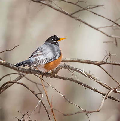 American Robin Poster by Bill Wakeley