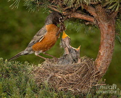 American Robin Feeding Chicks Poster by Jerry Fornarotto