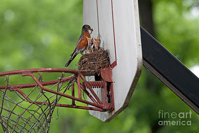 American Robin Feeding Young Poster by Kenneth M. Highfill