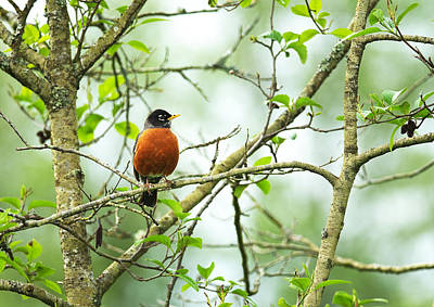 American Robin On Tree Branch Poster