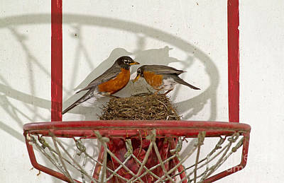 American Robin Pair At Nest Poster